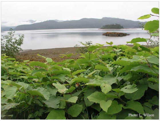 Keys to identification of invasive Knotweed in BC